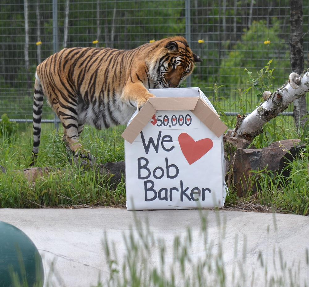 Zeus shows his appreciation to Barker by playing with a cardboard box filled with some treats! (credit: The Wildcat Sanctuary)