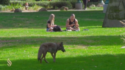 The coyote kept its distance from students. (Credit: Sacramento State/Rob Neep)