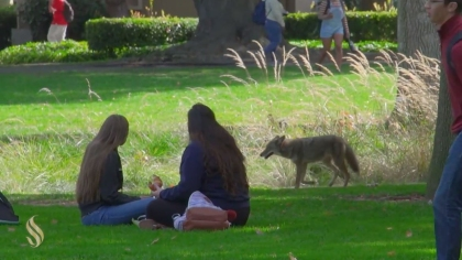 Some students were probably oblivious to the fact it was a coyote, not a dog. (Credit: Sacramento State/Rob Neep)