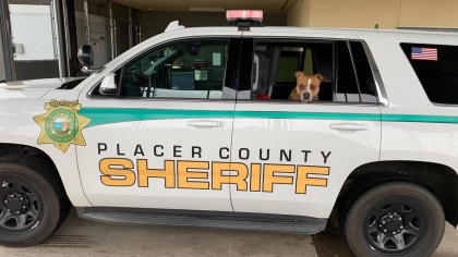 The dog went for a ride with the deputy before it was taken to the shelter. (Credit: Placer Sheriff)