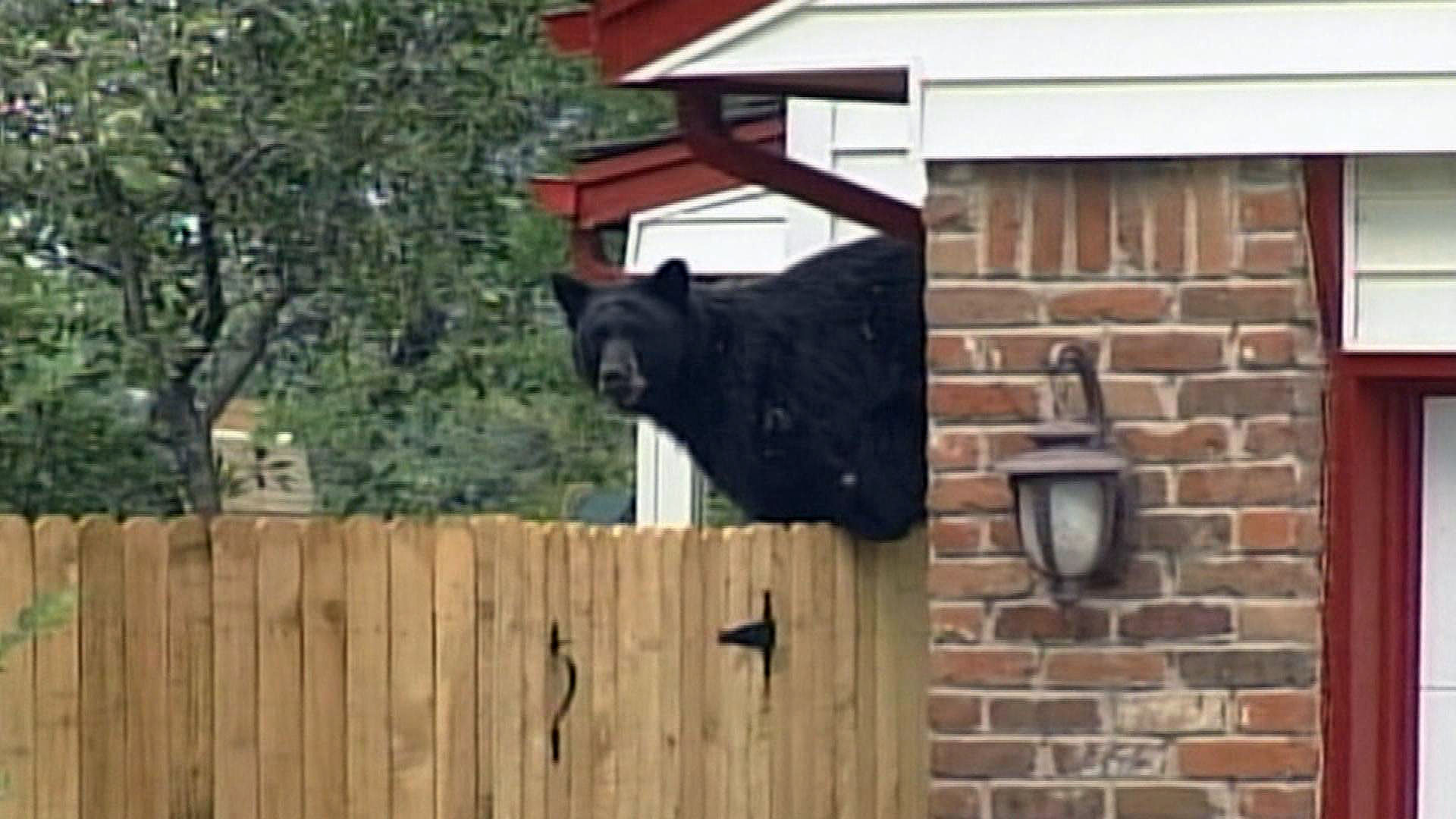 A bear wander the Cherry Knolls neighborhood in Centennial in 2001 (credit: CBS)