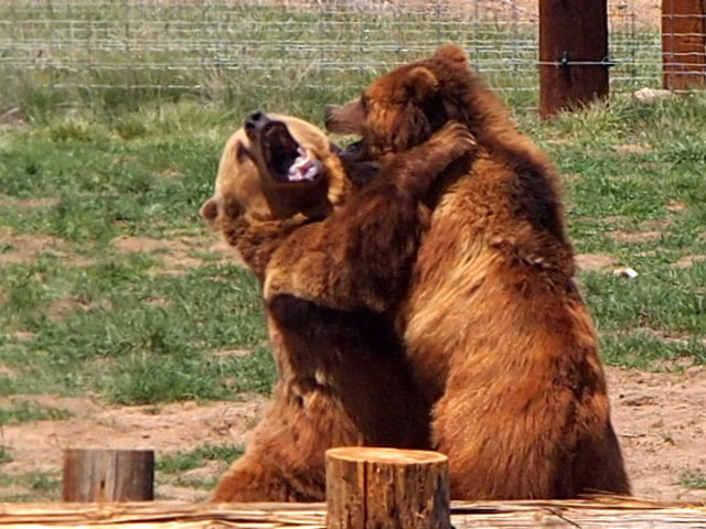 Dave Thrush took this photo of bears wrestling at the Wild Animal Sanctuary in Keenesburg on May 15, 2013.
