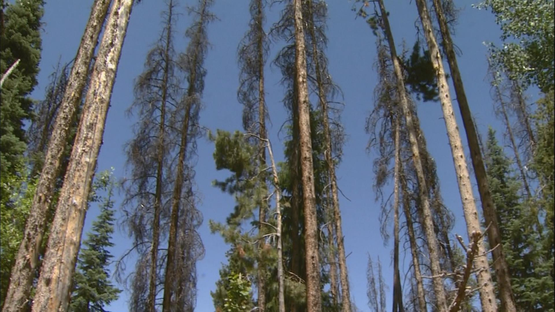 Beetle-killed trees (credit: CBS)