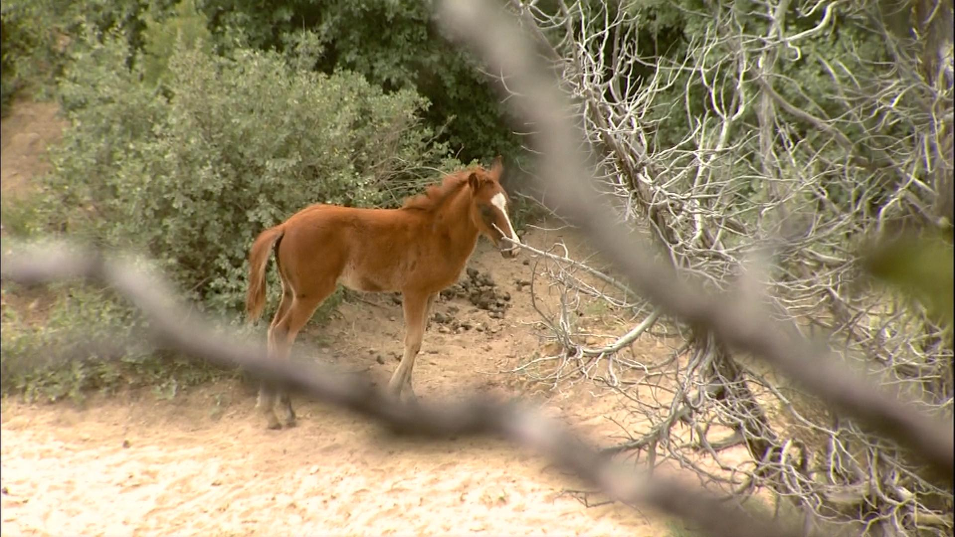 A wild horse on the Western Slope (credit: CBS)