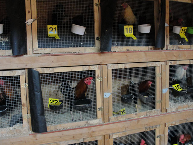 Some of the roosters that were confiscated (credit: Jefferson County District Attorney's Office)