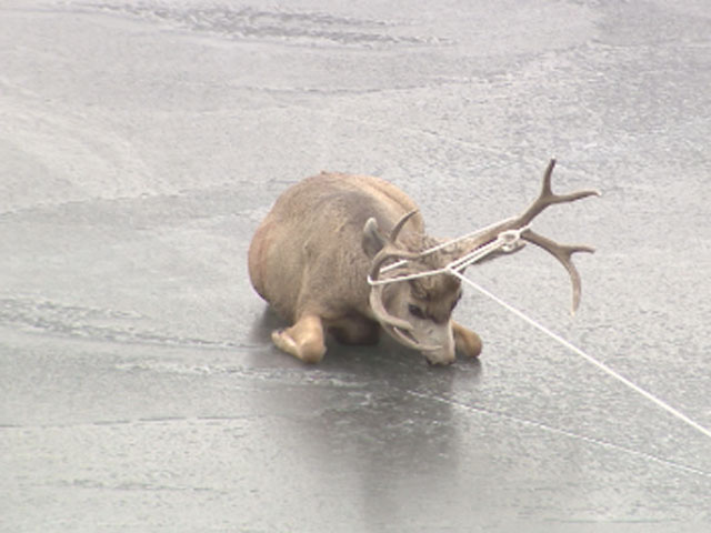 A deer was rescued from an icy lake in Golden in January. (credit: CBS)