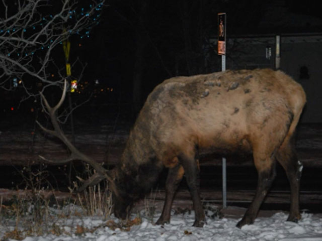 The elk wandering around Boulder before it was shot. (credit: Lara Koenig)