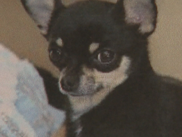 A Chihuahua puppy was stolen from the Pet Ranch in Thornton. (credit: CBS)