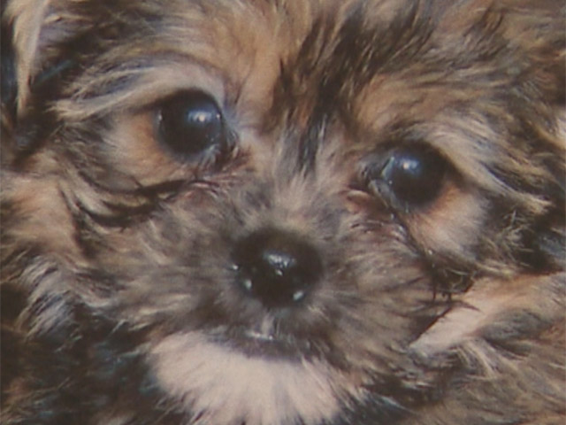 A Maltese tea cup puppy was stolen from the Pet Ranch in Thornton. (credit: CBS)