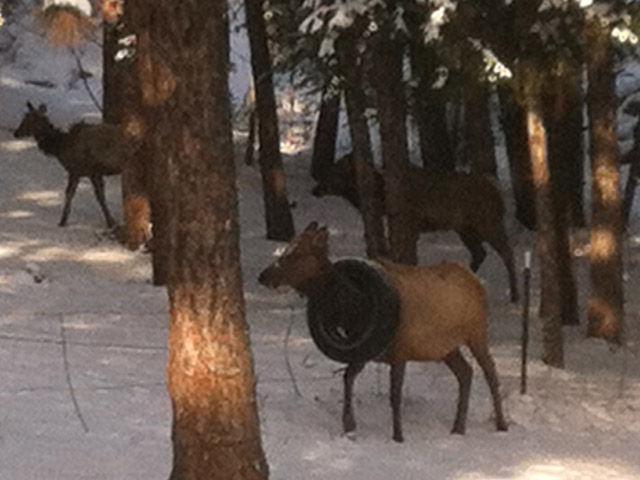 An elk with a tire around its neck near Hwy 285 and North Turkey Creek Road (credit: Mark Daigneault)