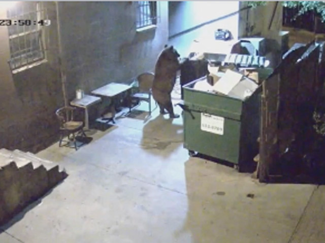 A bear was caught on surveillance video dumpster diving outside a Colorado Springs restaurant (credit: Edelweiss Restaurant)