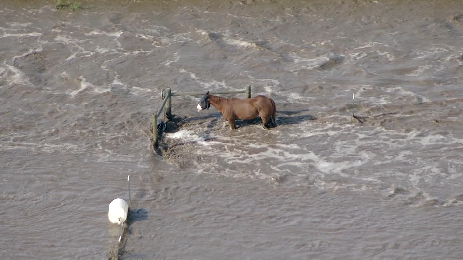 A horse stranded on a farm in Weld County (credit: CBS)