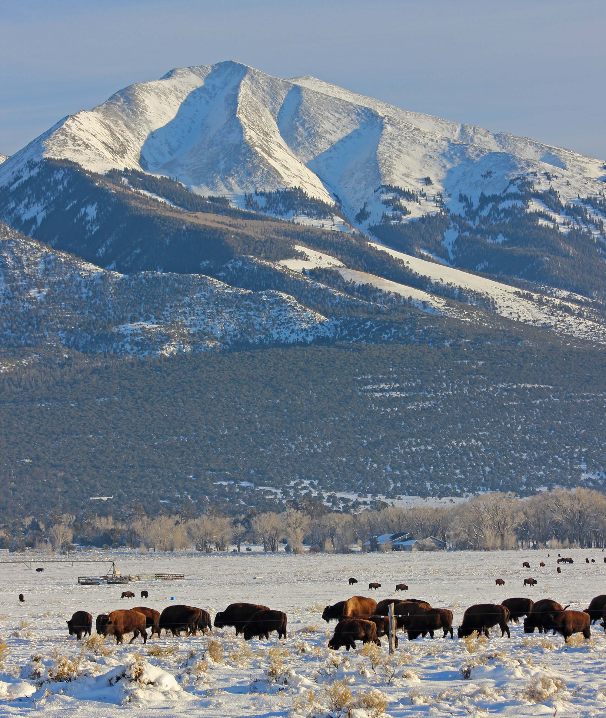 Bison at Medano-Zapata Ranch in the San Luis Valley taken by Teresa Grimsley of Alamosa.