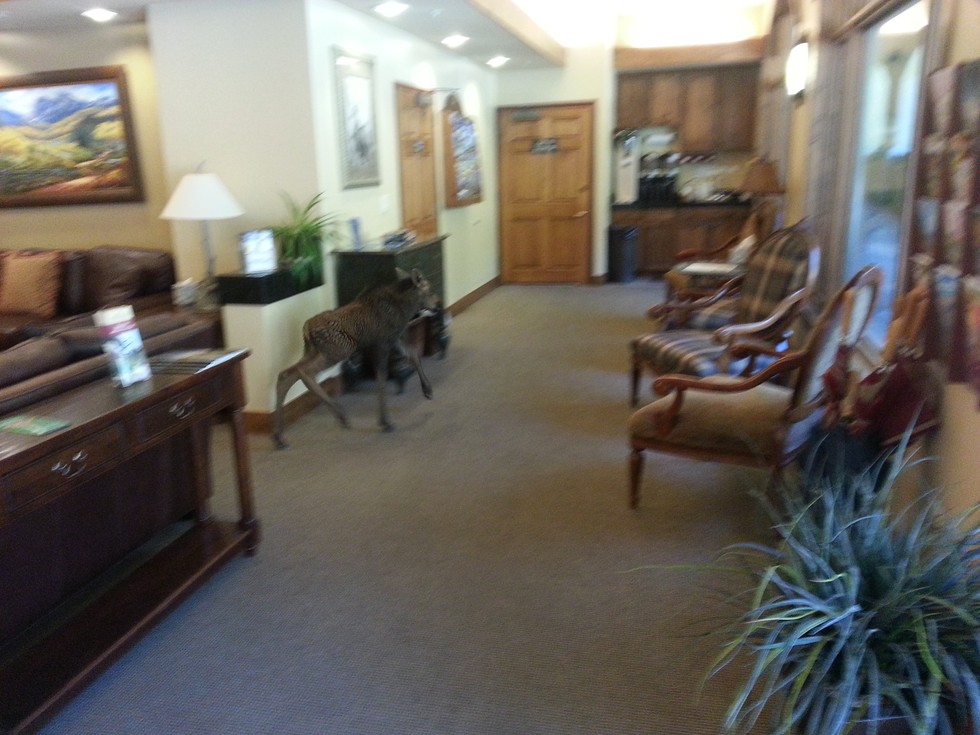 The moose in the Antlers Hotel lobby (credit: Katie Nelson)