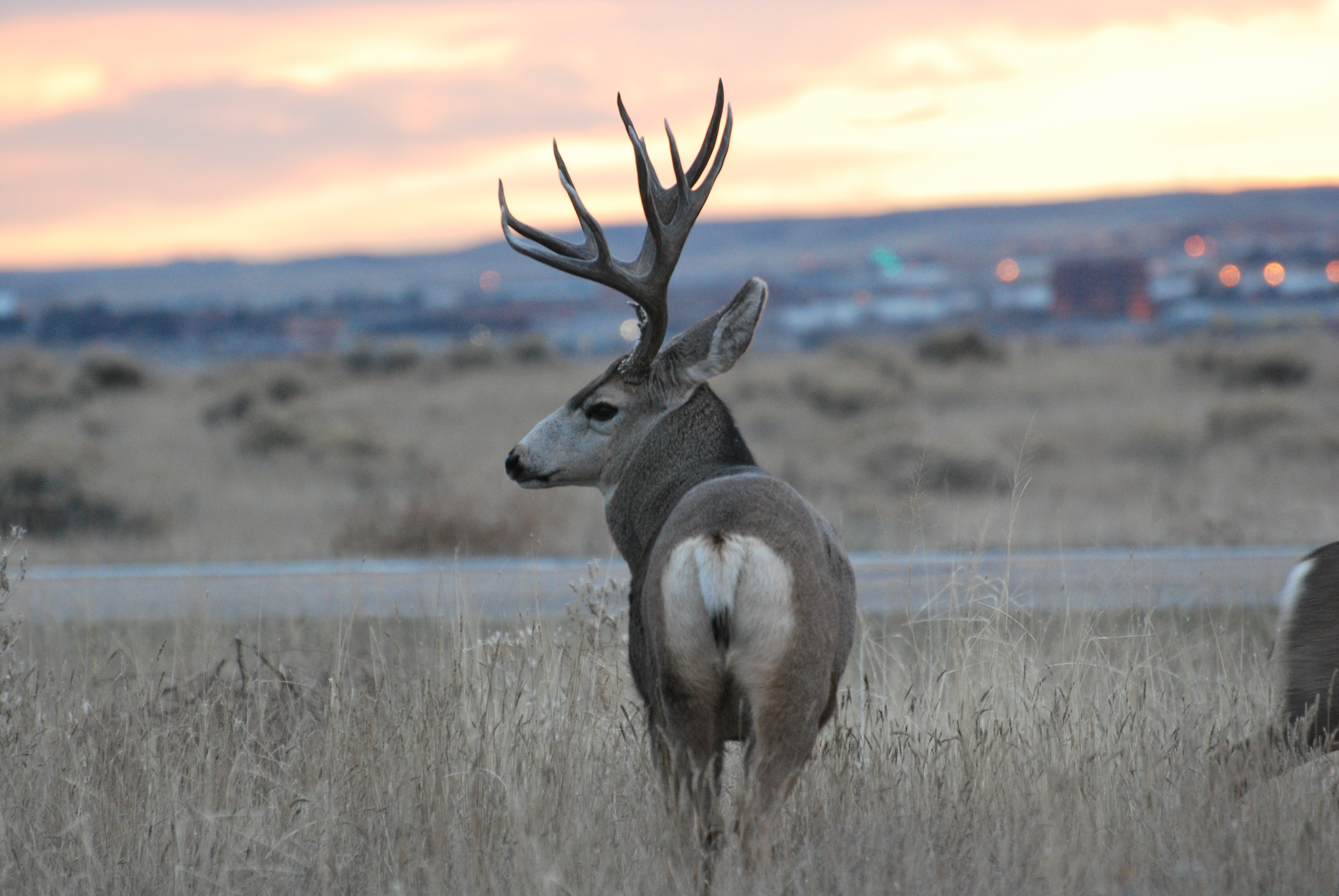 An image of a mule deer at sunset at Cherry Creek State Park on Nov. 22.