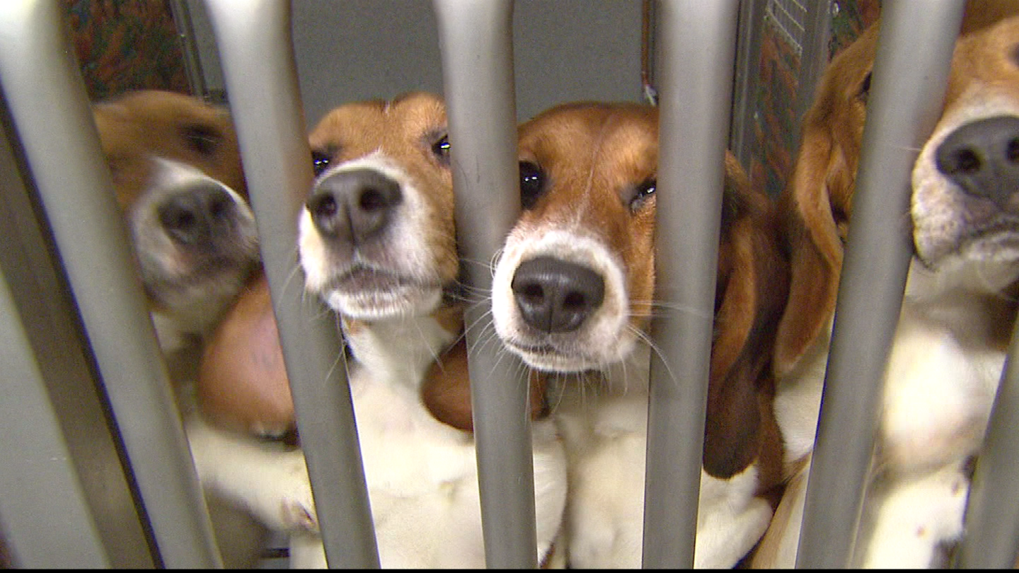 Dogs seek attention in their run at Pre-Clinical Research Services. (credit: CBS)