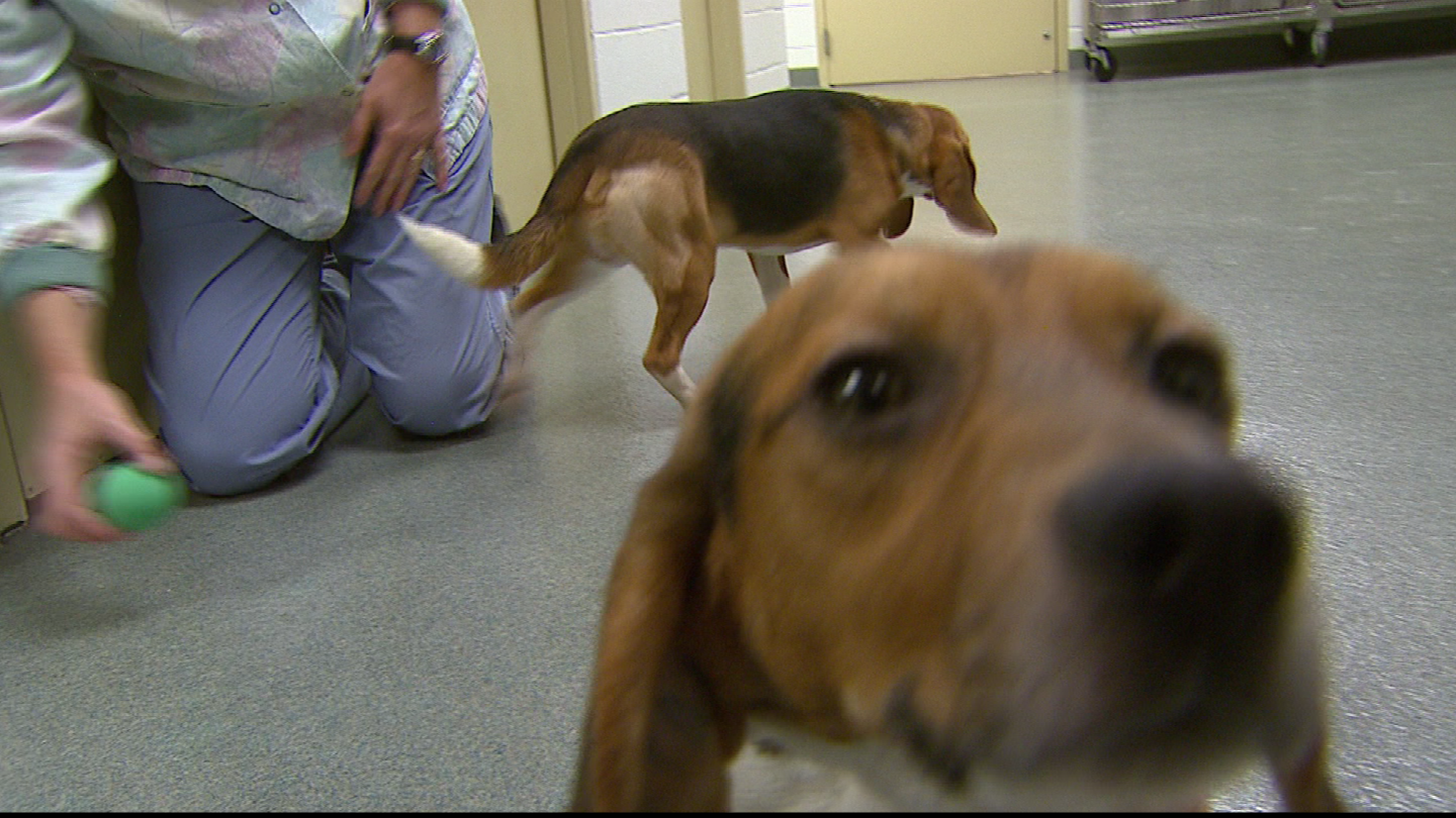 Two beagles, Little Bo and Pete, play in a hallway at Pre-Clinical Research Services. (credit: CBS)