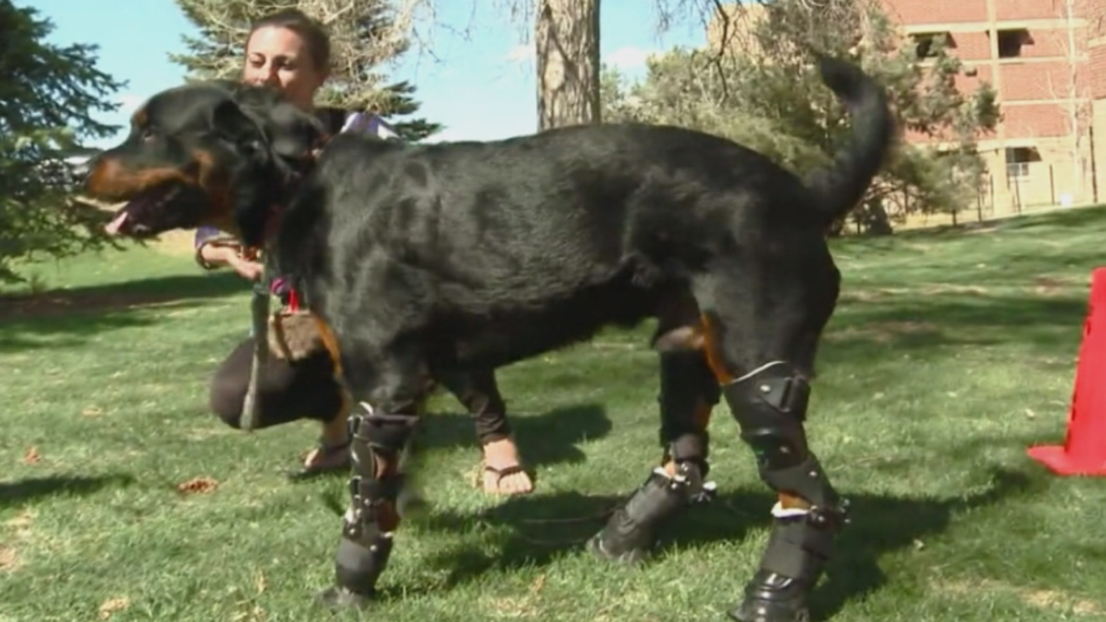Brutus tries out his new prosthetic legs (credit: CBS)