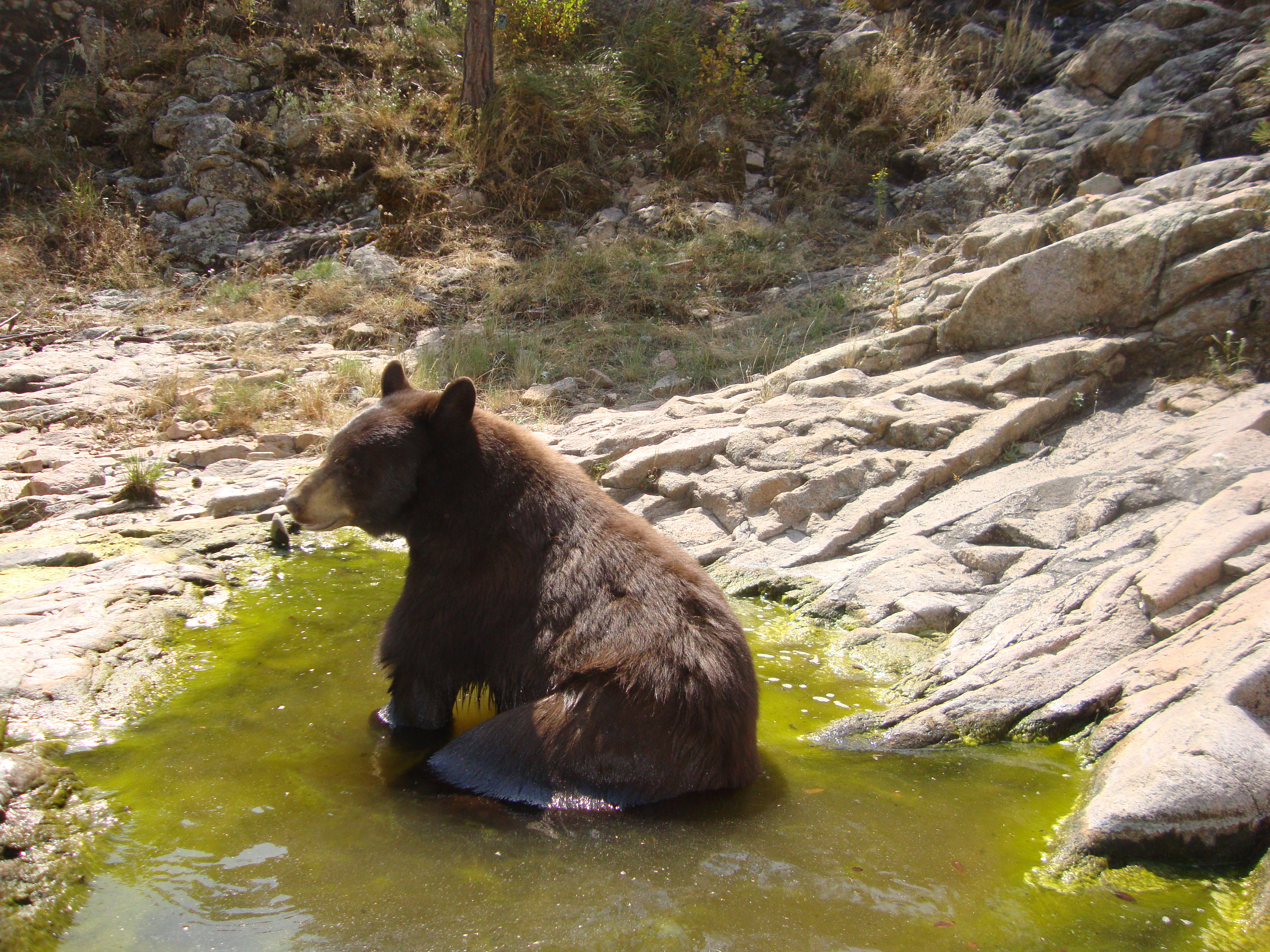 A bear captured bathing in a pond (credit: David Neils)