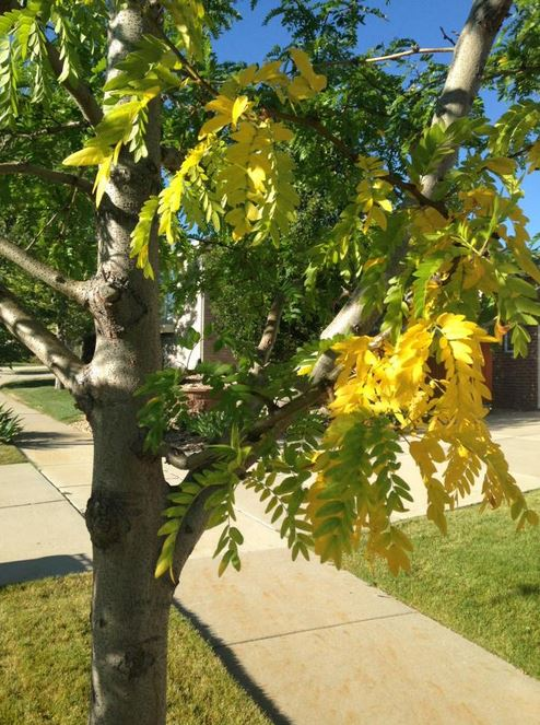 A little fall color was already visible on this tree in southeast Aurora on Sept. 1, 2015. (credit: Meteorologist Chris Spears)