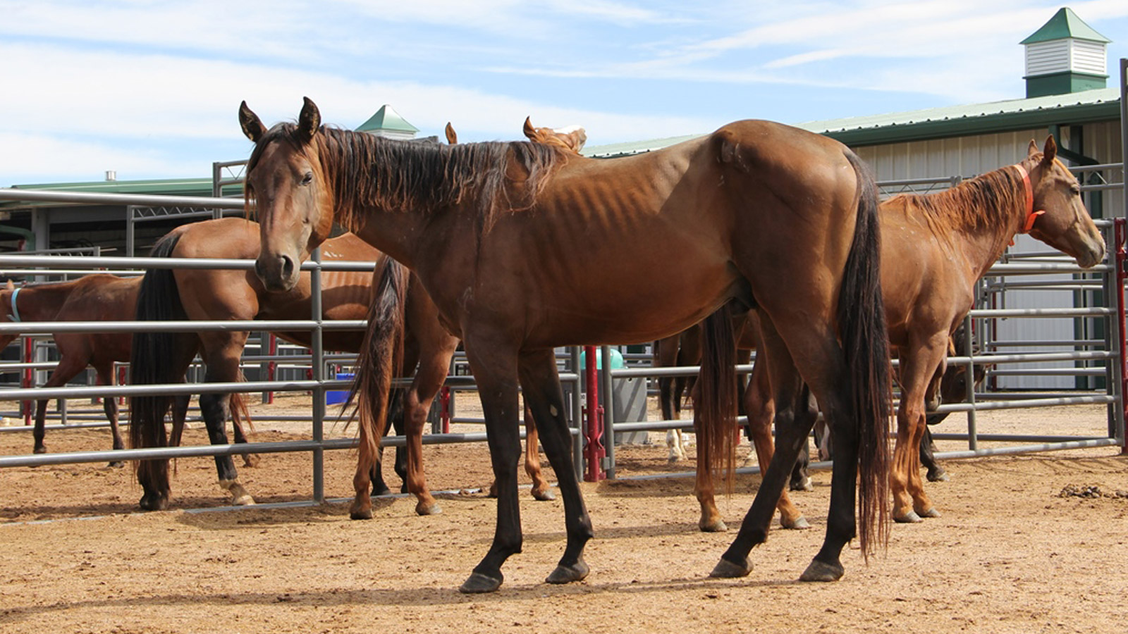 The Dumb Friends League Harmony Equine Center took in 60 abused horses from Texas (credit: DDFL)