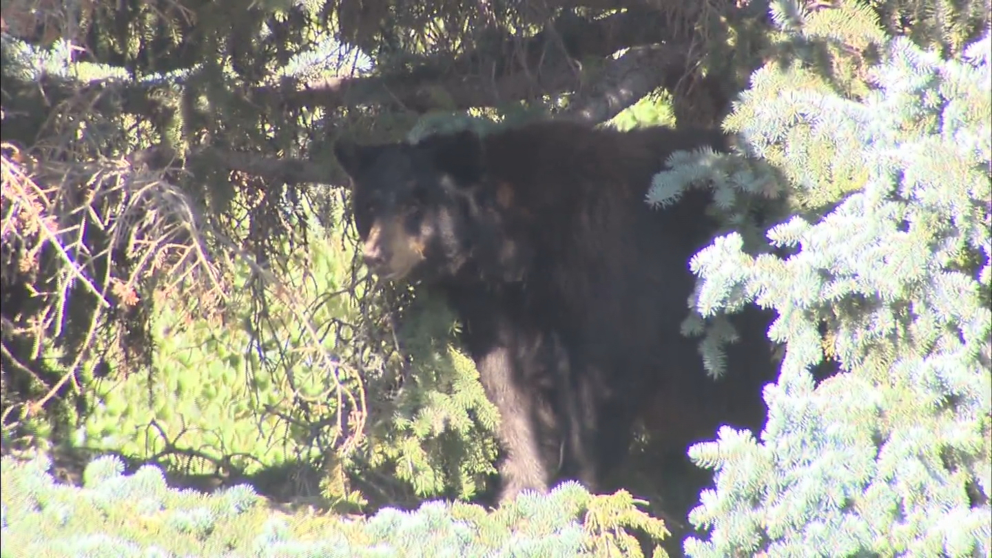The mother bear in a tree in Evergreen (credit: CBS)