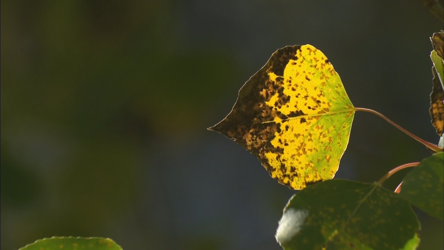 A fungus has spread among aspen and cottonwood trees (credit: CBS)