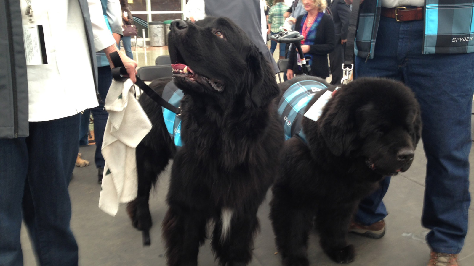 Pet therapy program dogs at DIA (credit: CBS)