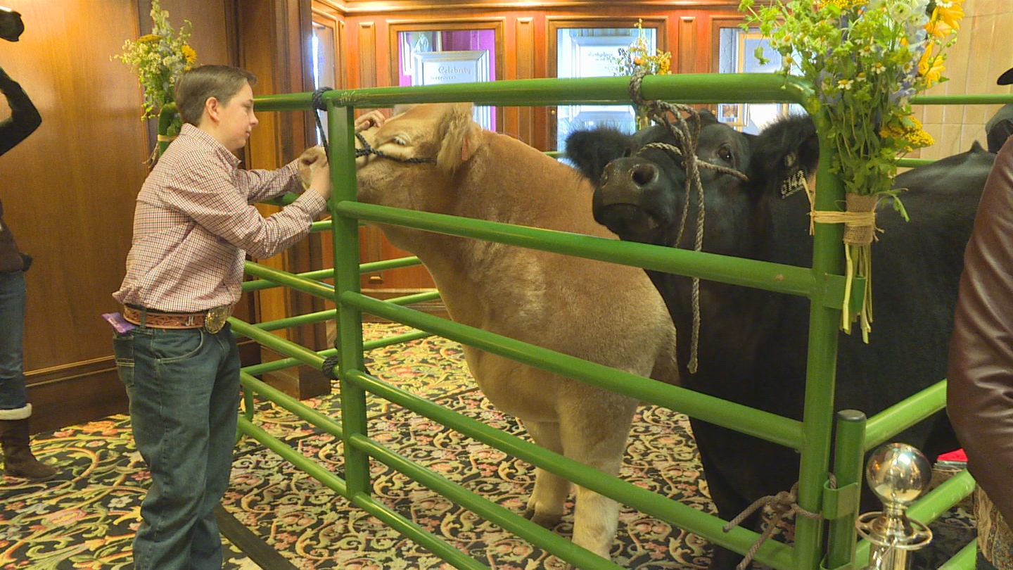 Moses the runner up and Remy the Grand Champion Steer (credit: CBS)