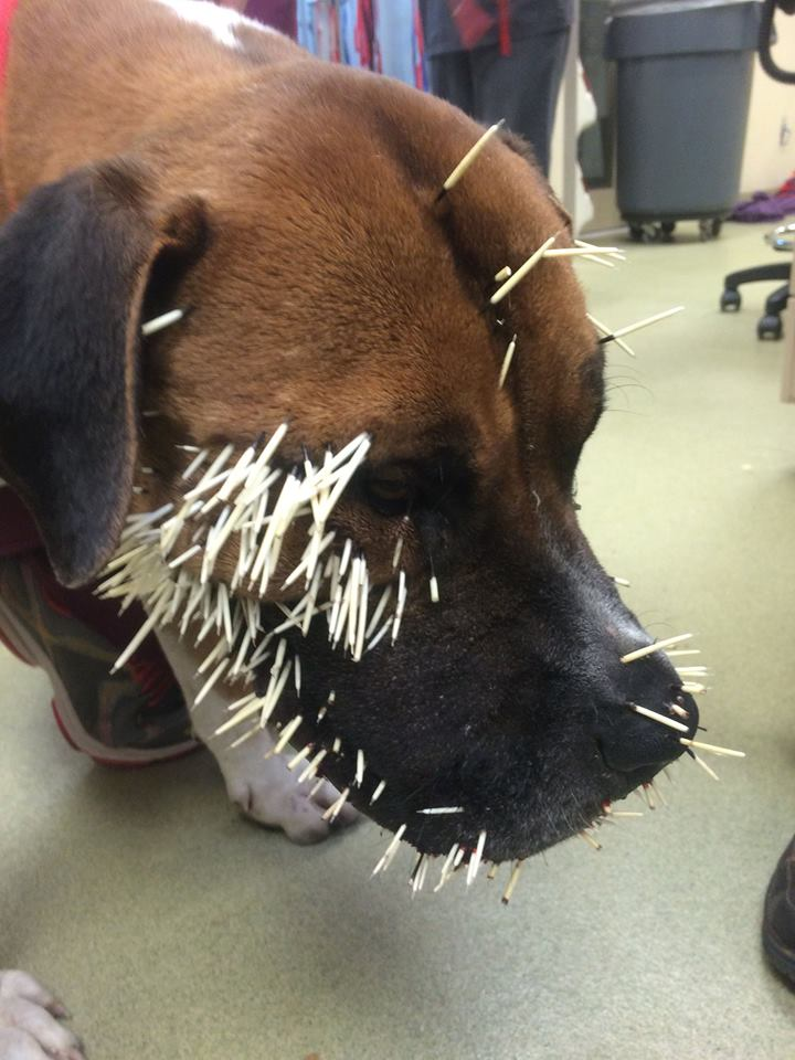 Canello after a porcupine attack (credit: Parker Police)