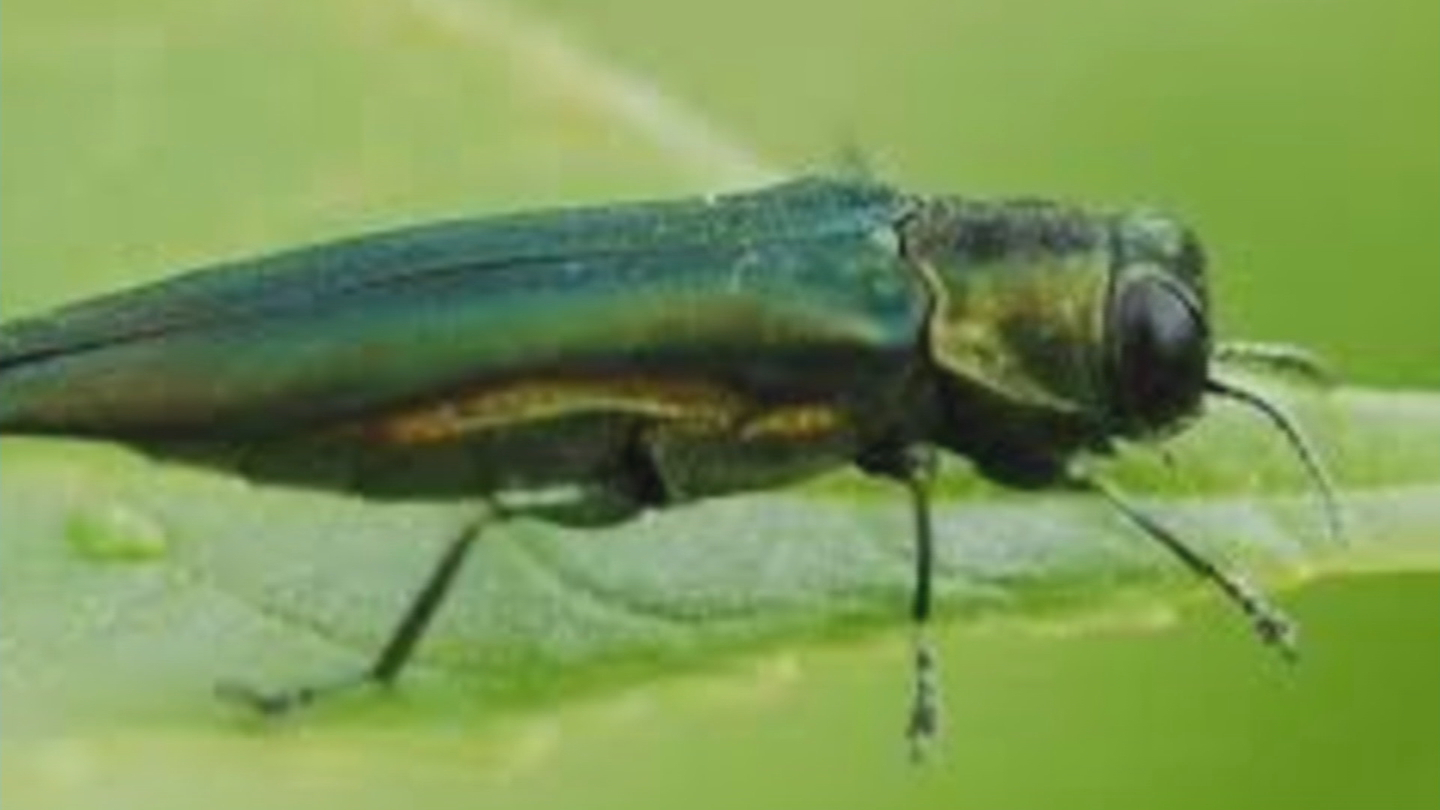 An Emerald Ash Borer Beetle (credit: Colorado State Forest Service)