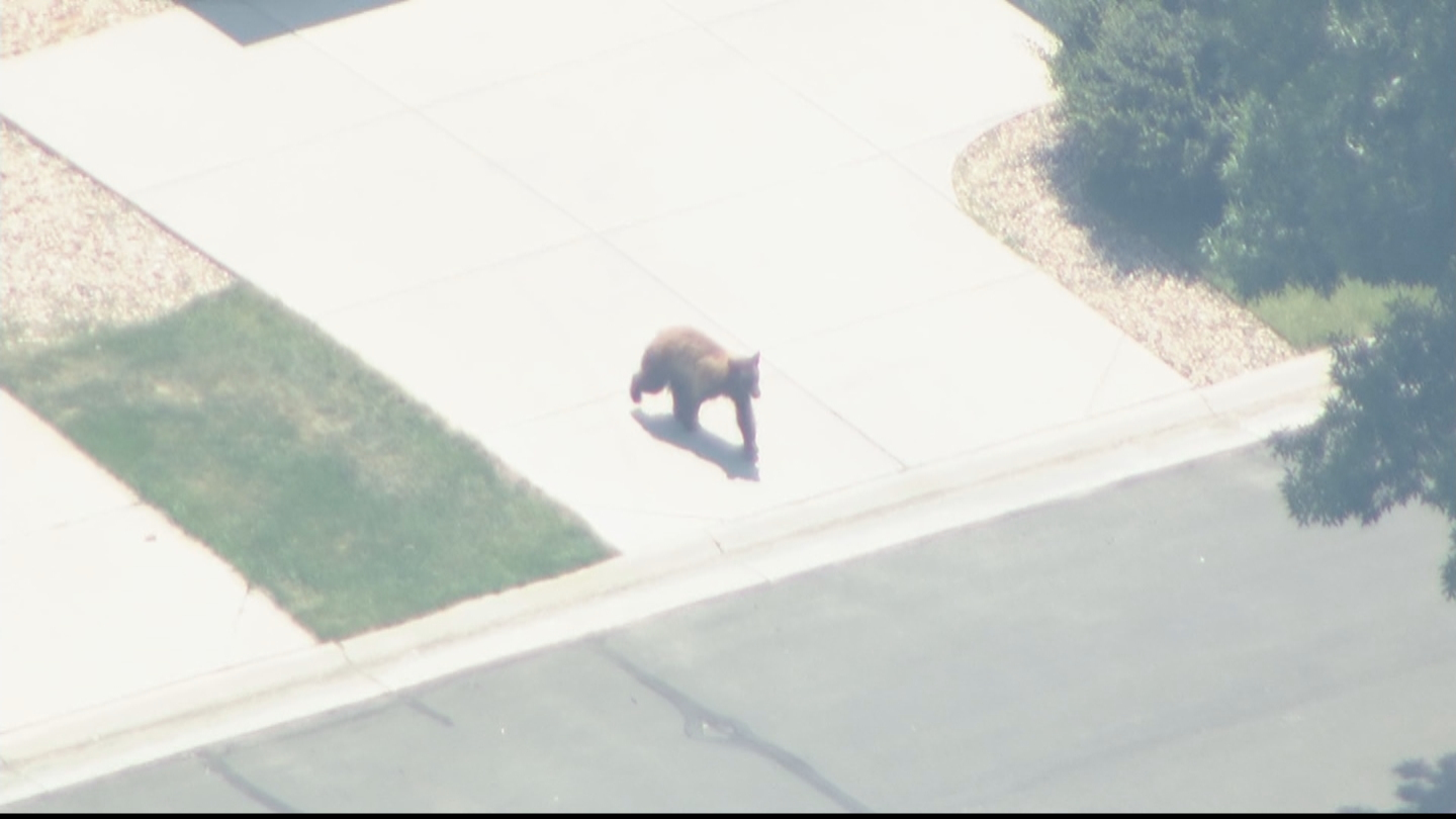 Copter4 flew over the bear running through the neighborhood on Thursday afternoon (credit: CBS)
