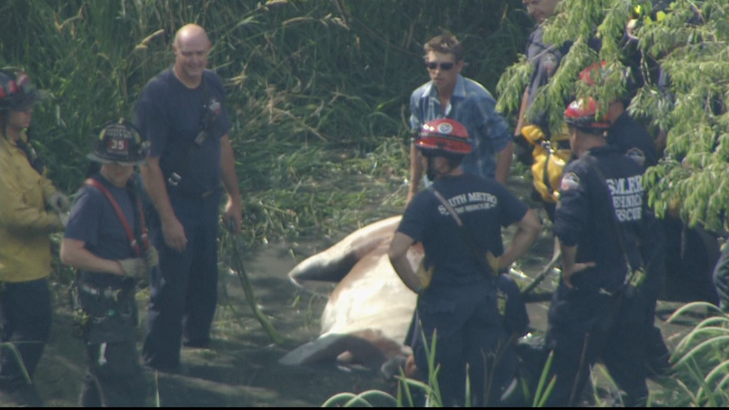 Copter4 flew over the stuck horse at Cherry Creek State Park on Thursday (credit: CBS)