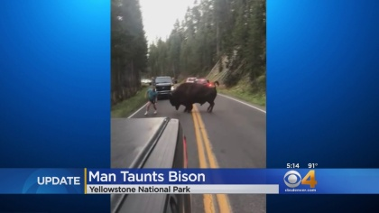 man taunts bison Man Taunts Bison In Yellowstone National Park